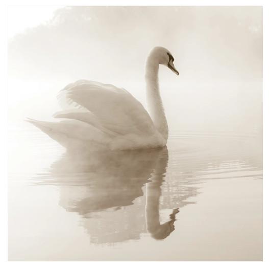 Фотообои флизелиновые «Лебедь»